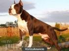 Regalo American Staffordshire Terrier, Información de la raza y fotos - mejor precio | unprecio.es