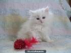 Gatitos persas su para adopcio - mejor precio | unprecio.es