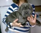 Cachorros de mastín napolitano - mejor precio | unprecio.es
