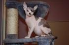 chaton sphynx (femelle) - mejor precio | unprecio.es