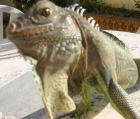 Vendo Iguana Macho Barcelona - mejor precio | unprecio.es