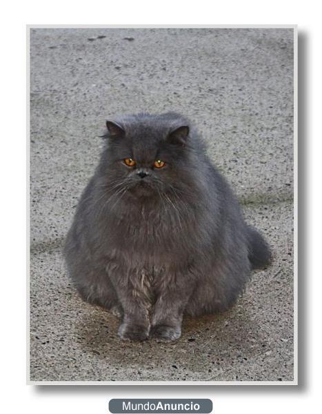 Precioso Gato Persa Azul Mejor Precio