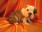 Bulldog Inglés cachorros son ahora disponible de forma gratuita - mejor precio   unprecio.es