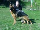 Cachorros Pastor Alemán con pedigree en Asturias. - mejor precio | unprecio.es