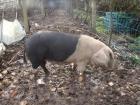 Vendo porcos celtas (cerdos celtas) - mejor precio   unprecio.es