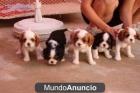 Adoption,Cavalier king charles spaniel, perros, c - mejor precio | unprecio.es