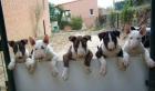 Cachorro Staffordshire Bull Terrier - mejor precio   unprecio.es
