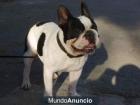 bulldog frances para monta en Malagase - mejor precio   unprecio.es