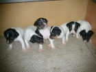 cachorros de bodeguero andaluz - mejor precio | unprecio.es