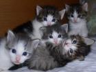 esplugat-venta de gatitos de raza - mejor precio | unprecio.es