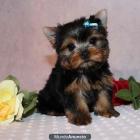 yorkies cachorros para una buena hogares - mejor precio | unprecio.es