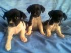 vendo 2 preciosas cachorritas cruce de chihuahua - mejor precio | unprecio.es