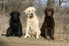 Labrador - mejor precio | unprecio.es
