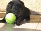 regalo cachorros cruce labrador 5 semanas, preciosos - mejor precio | unprecio.es