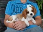 100 femenino Cavalier King Charles Spaniel cachorro para la venta .. - mejor precio | unprecio.es
