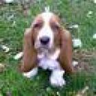gratis:cachorros de basset hound - mejor precio | unprecio.es