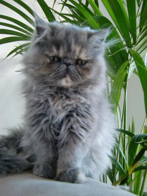 Vendo Gatitos Pura Raza Persa Mejor Precio
