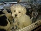 Preciosos cachorritos maltesitos de pura raza con pedigree - mejor precio   unprecio.es