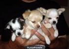 Cachorros de chihuahua disponibles - mejor precio | unprecio.es