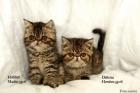 gato gatos persa exotico pamplona navarra bilbao vizcaya San Sebastian donostia Guipuzcoa - mejor precio   unprecio.es