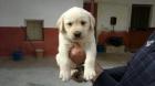 Labradores labradores - mejor precio | unprecio.es