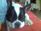Bulldog Francés 8 meses - mejor precio   unprecio.es
