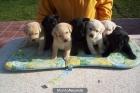 Labrador retriever cachorros dorados, negros , chocolate, perros, cachorros, criadero, venta. - mejor precio | unprecio.es