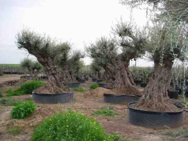 Venta de olivos centenarios 638823 mejor precio - Compra de olivos centenarios ...